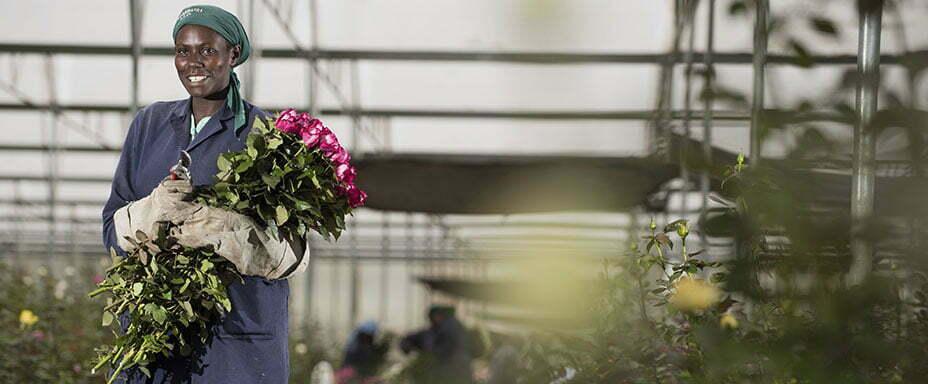 Sourcing Fairtrade Roses